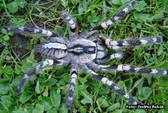Indian Ornamental Tarantula (Sling) - Poecilotheria regalis