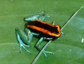Golfodulcean Arrow Frog - Phyllobates vittatus