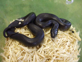Mexican Black Kingsnake (Adult) - Lampropeltis getula nigrita