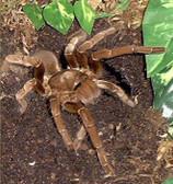 Cameroon Red Baboon Tarantula (Tawny Baboon) - Hysterocrates gigas