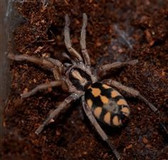 Pumpkin Patch Tarantula - Hapolopus sp