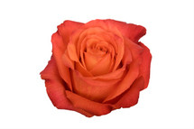 Rose High&Happy 50cm rfi