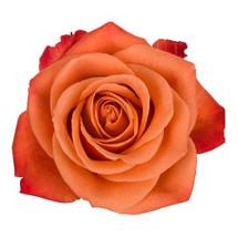 Rose OrgCrush 50cm rprima