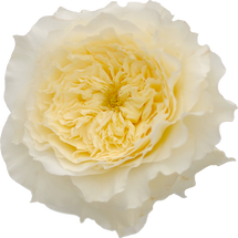 Rose Grdn Patience(12stm)rprim
