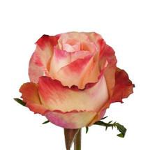 Rose PeachAubade 50cm rprima