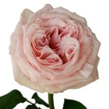 Rose Grdn PinkOhara(12stm) rpr