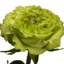 Rose SuperGreen 50cm rpirma