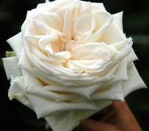 Rose White Ohara Gdns rio x12