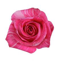 Rose WildTopaz 70cm rprima