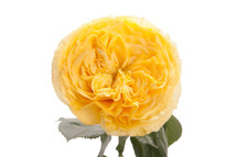 Rose YellowFinesse 40cm rprima