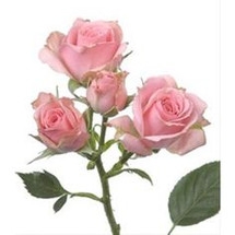 RoseSpray ClassicLydia rfi