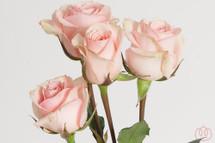 RoseSpray Starblush rfi.