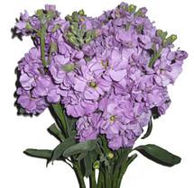Stock Lavender joe&son