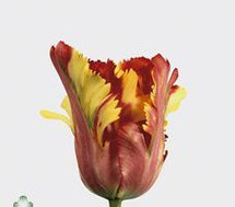Tulip FRENCH Flaming parrot holland