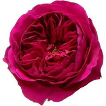 Rose Grdn Kate(12stm) r.prima