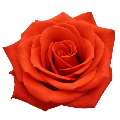 rose santana 60cm rfi. Black Bedroom Furniture Sets. Home Design Ideas