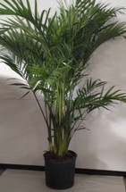 """10"""" POTTED CAT PALM"""