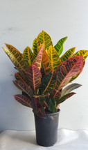 """6"""" POTTED CROTON"""