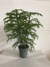 "6"" POTTED NORFOLK PINE"