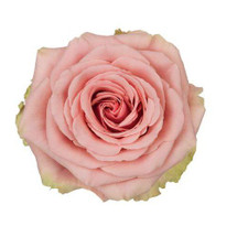 Rose Geraldine 60cm rprima