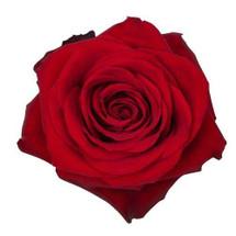 Rose Freedom 50cm rprima