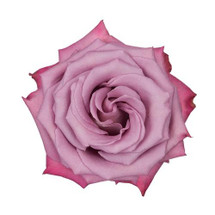 Rose MoodyBlues 60cm rprima