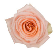 Rose Tiffany 70cm rprima