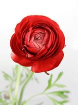 Ranunculus Red holl super 45cm