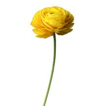 Ranunculus Yellow super holl