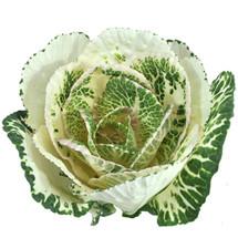 Kale White holex(STEM)