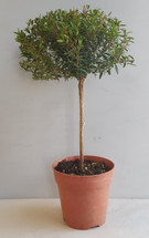 "4"" POTTED MYRTLE TOPIARY"