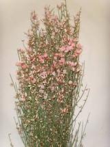 Ginestra Pink holl