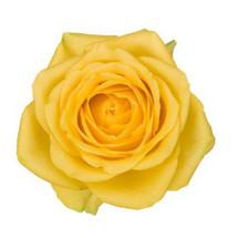 Rose Latina 50cm rio