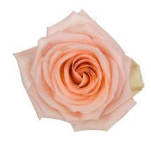 Rose Tiffany 60cm rfi