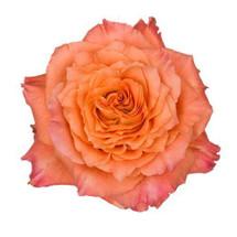 Rose FreeSpirit 50cm rio