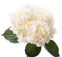Hydra. White bella blossom(st)