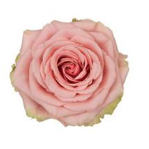 Rose Geraldine 50cm rio