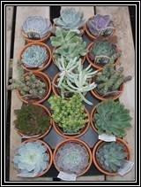 """4"""" POTTED SUCCULENTS"""