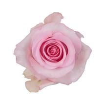 Rose Nena 50cm rprima
