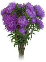 Aster Beauty Lavender s.v.