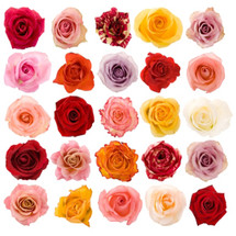 Asst Short Roses(125case)rprima