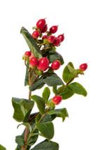 Hypericum Red esmeralda supx