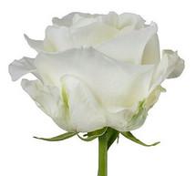 Rose FirstLady 50cm rprima