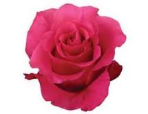 Rose Zafira 70cm rprima