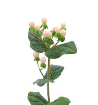 Hypericum CocoAvanti bella