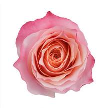 Rose Amira 50cm rprima