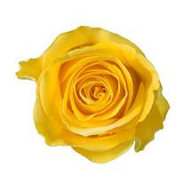Rose Brighton 50cm rprima