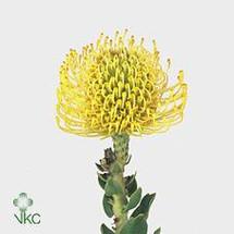 PinCushion Yellow(stm.) rfi