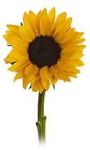 Sunflower Yellow large mia(5)