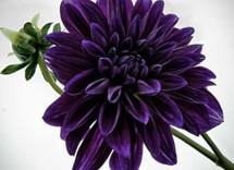 Dahlia Purple v.d.